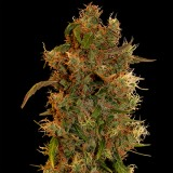 Barney's Farm 8 Ball Kush