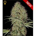Super Bud Autoflowering - Green House seeds